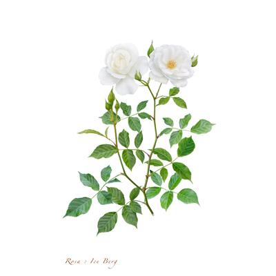 薔薇の写譜「アイスバーク(ドイツ)」
