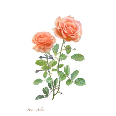 薔薇の写譜「アシュラム (ドイツ)」