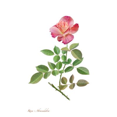 薔薇の写譜「アブラカダブラ(米国)」