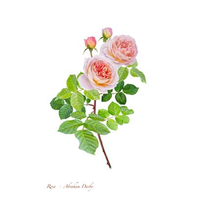 薔薇の写譜「アブラハム ダービー (英国)」