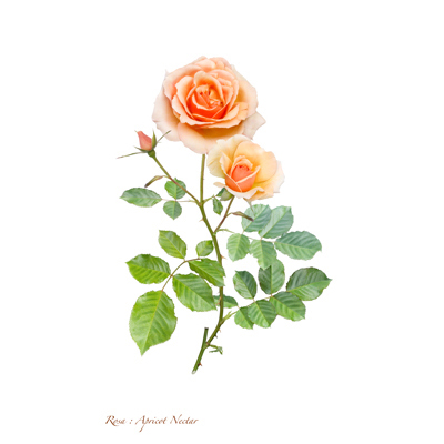 薔薇の写譜「アプリコット ネクター(米国)」