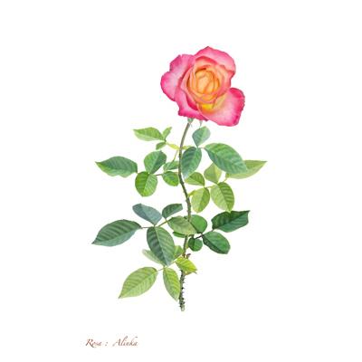 薔薇の写譜「アリンカ(フランス)」