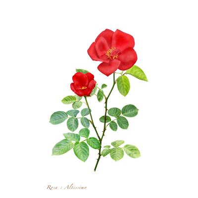 薔薇の写譜「アルティッシモ(フランス)」