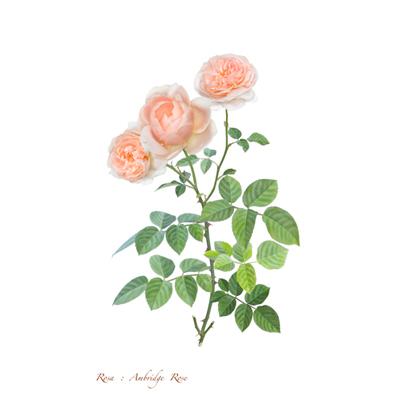 薔薇の写譜「アンブリッジ ローズ(英国)」