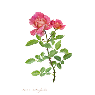 薔薇の写譜「アンボスフンケン(南アフリカ)」
