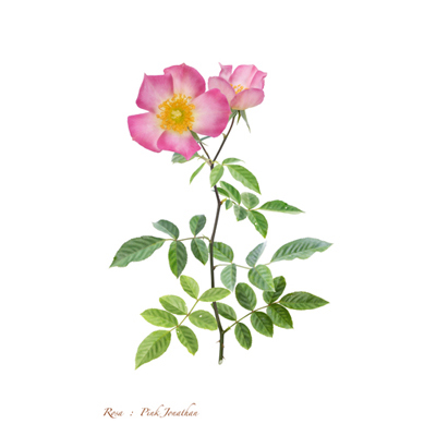 薔薇の写譜「ピンク ジョナサン(日本)」