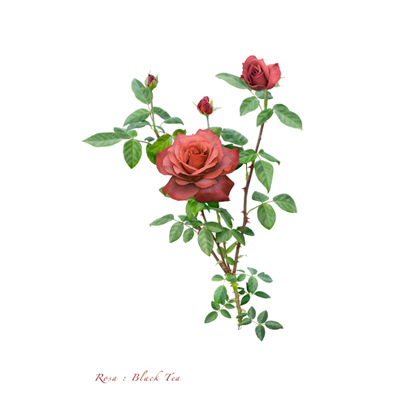 薔薇の写譜「ブラックティー(日本)」