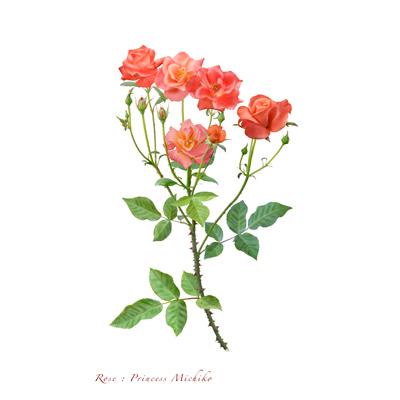 薔薇の写譜「プリンセス ミチコ(英国)」