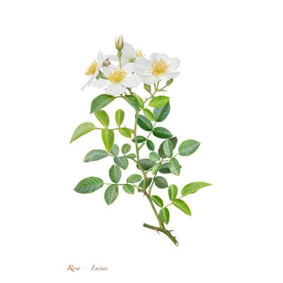 薔薇の写譜「ロサ ルキエ(日本)」