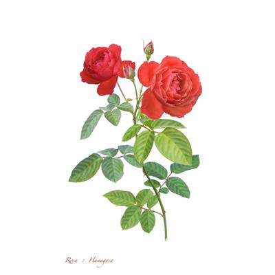 薔薇の写譜「花笠(日本)」