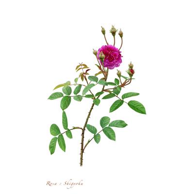 薔薇の写譜「紫玉(日本)」