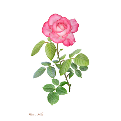 薔薇の写譜「聖火(日本)」