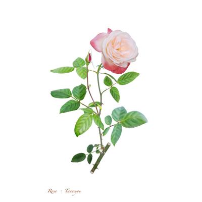 薔薇の写譜「丹頂(日本)」
