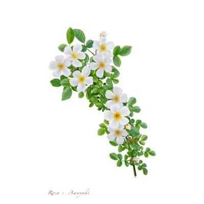 薔薇の写譜「淡雪(日本)」