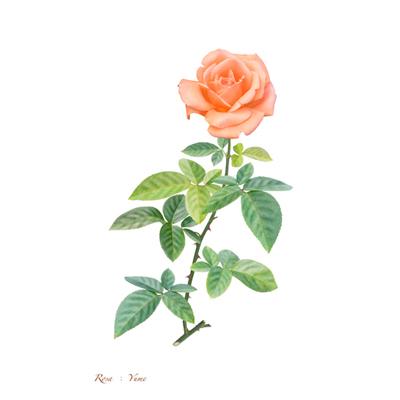 薔薇の写譜「夢(日本)」